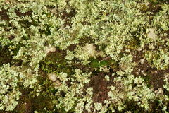 Natural background with moss and lichens Stock Image
