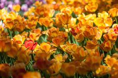 Field of bright orange tulips. Spring and gardening royalty free stock images