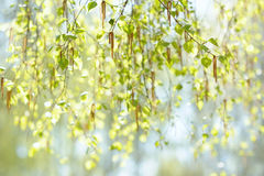 Natural background with fresh spring twig of birch in selective focus Royalty Free Stock Photography