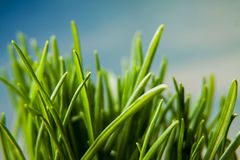 Natural background with grass Royalty Free Stock Photo