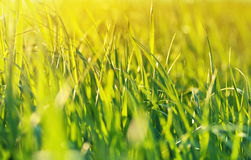 Natural background: grass backlit, sunny day Royalty Free Stock Photos