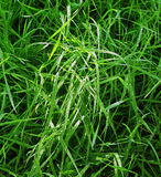 Natural background of grass stalks and dew drops Royalty Free Stock Images
