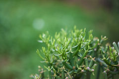 Natural Background. Green close-up of mediterran plant Royalty Free Stock Photos