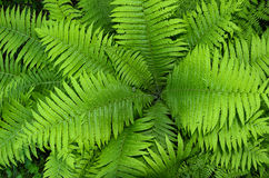 Natural background of green fern leaves Stock Photo