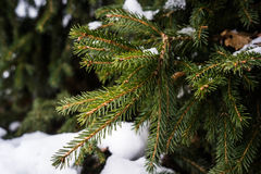 Natural background from green fir cones and needles under the snow. Stock Photo