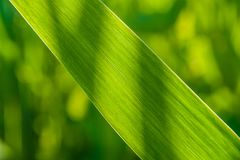 Natural background with green grass blade Royalty Free Stock Photos