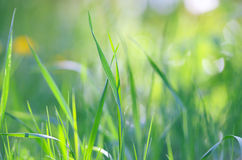 Natural background of green grass blades close up. Beautiful summertime grass close up background Royalty Free Stock Photos
