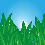 Natural background. Green grass with dew drops on a background of blue sky .natural background.summer and spring design Royalty Free Stock Image