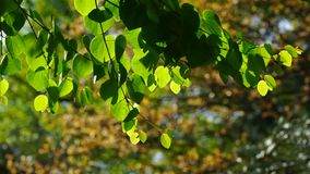 Natural background with green leaves on a tree branch. Green leaves on tree branch on blurred background stock footage