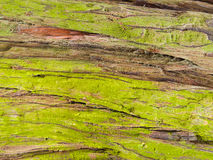 Natural background of green lichens on redwood bark Stock Images