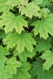 Natural background, green maple leaves royalty free stock photo