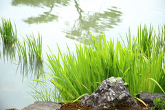 Natural background of green reeds plant with still water in pond Royalty Free Stock Photo