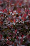 natural background of inflorescences of red petals with drops of dew on a bush Royalty Free Stock Photos
