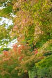 Natural background of Japanese maple leave in autumn season at Kyoto Royalty Free Stock Images