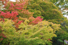 Natural background of Japanese maple leave in autumn season at Kyoto Stock Photography