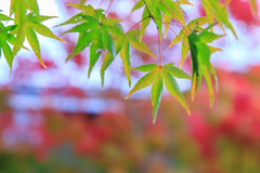 Natural background of Japanese maple leave in autumn season at Kyoto Royalty Free Stock Image