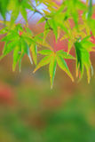 Natural background of Japanese maple leave in autumn season at Kyoto Stock Photos
