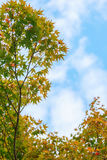 Natural background of Japanese maple leave in autumn season at Kyoto. Japan Stock Photo