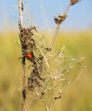 Natural background. Ladybug on a beam of dry grass Stock Photos