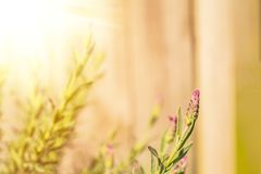 Natural background with lavender flowers against wooden background. Sunny day in the garden. royalty free stock photo