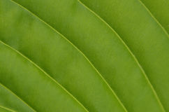 Natural background, leaf. royalty free stock image