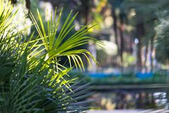 Natural background with leaves of fan palms in the foreground. Natural background with fan palm leaves in the foreground on a Sunny day Royalty Free Stock Photo