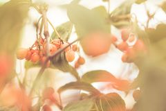 Macro shot of leaves and red berries Royalty Free Stock Image