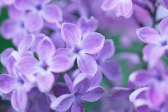 Natural background with lilac flowers. Floral background. pastel toning Stock Images