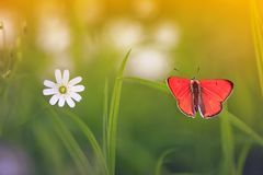 Natural background with little orange butterfly sitting on gree. N grass on a blossoming summer meadow on a Sunny bright day stock photography