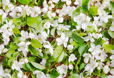 Natural background made of apple flowers Royalty Free Stock Image