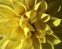 Natural background of one large yellow chrysanthemum flower. Cropped shot, close-up. Nature concept stock photography