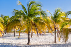 Natural background with palm trees on sandy beach. Cuba. Stock Photography