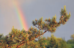 Natural background, pine branch, rainbow. Natural fresh background, pine branch, rainbow in the sky after rain Royalty Free Stock Photography