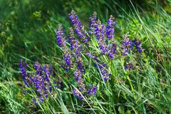 Natural background with purple salvia flowers Stock Photography