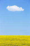 Natural background of rapeseed field against blue sky Royalty Free Stock Image