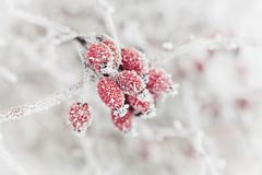 Natural background from red berry covered with hoarfrost or rime. Winter morning scene of nature. Natural background from red berry covered with hoarfrost or Royalty Free Stock Images