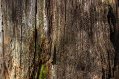 The natural background of rotten wood on very old tree stumps. The texture of the old stumps. stock image