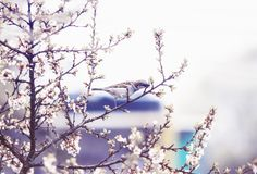 Natural background with bird Sparrow sitting on the branches of the cherry blossoms in the may garden in a quiet lilac. Natural background with small bird royalty free stock image