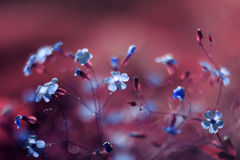 Natural background of small blue flowers on a bright pink background Royalty Free Stock Images