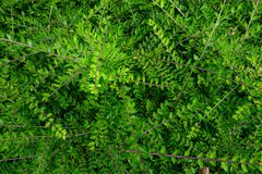 Natural background of small green leaves and branches of a garden bush royalty free stock photos