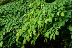 Natural background of small green leaves and branches of a garden bush royalty free stock image