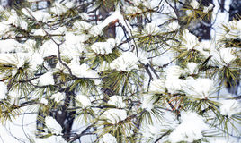 Natural background with snowy needles of pine branches Stock Photo