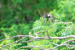 Natural background. Sparrow sitting on branch of rowan Stock Images