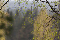 Natural background, spring branches Royalty Free Stock Photo