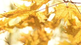 Natural background. Sun shining throw leaves in autumn forest. stock video footage