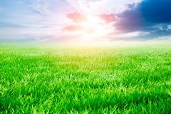 Meadow Green rice grass field blue sky cloud stock image