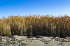 Natural background, tall yellow reeds and the blue sky. royalty free stock image