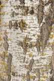 Natural background. Tree bark texture with moss , birch Royalty Free Stock Photo