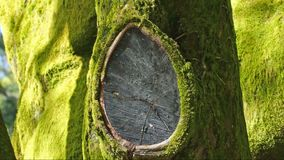 Natural wood trunk background. Natural background of tree trunk covered with green stock video