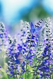 background with two small bright blue butterfly Blues sitting on purple flowers in summer Sunny day on a rural meadow stock image